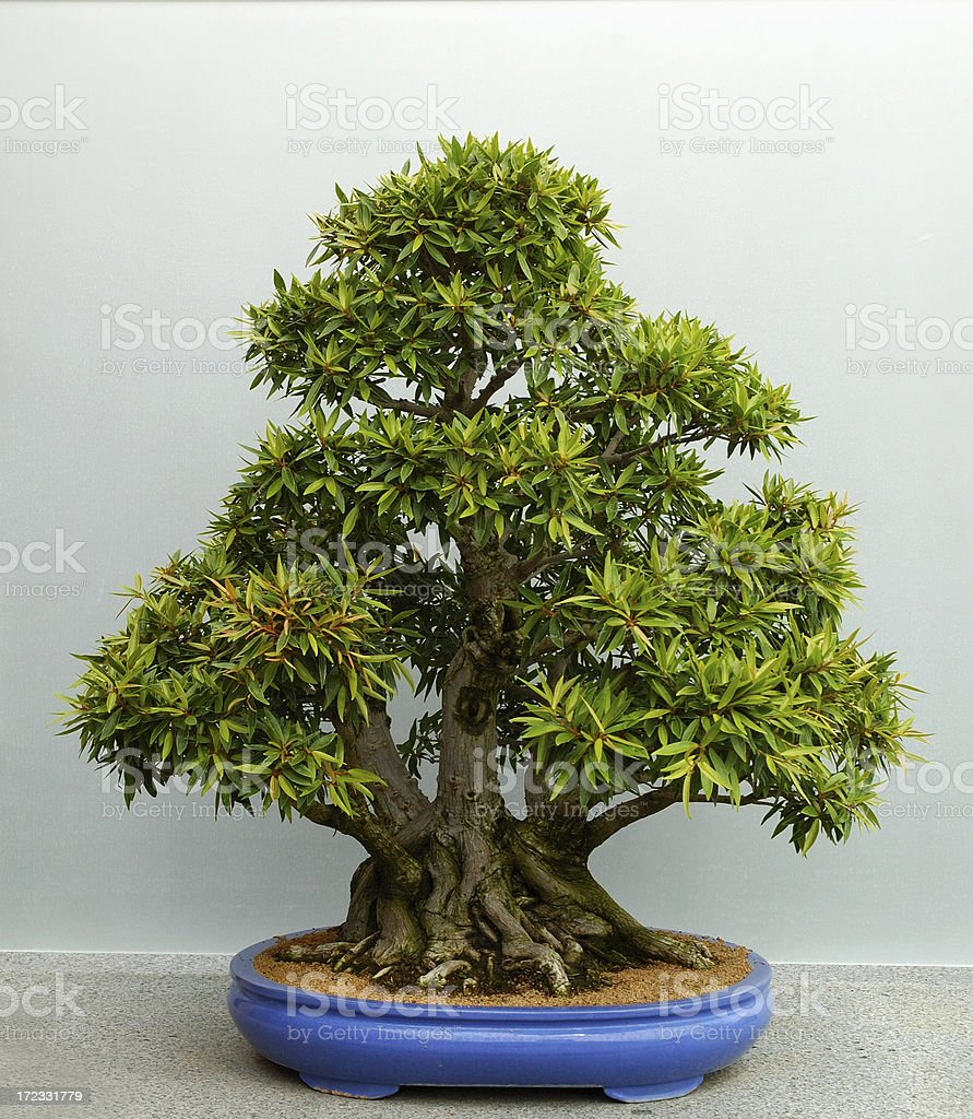 Willow Leaf Fig Bonsai Stock Photo Download Image Now Istock