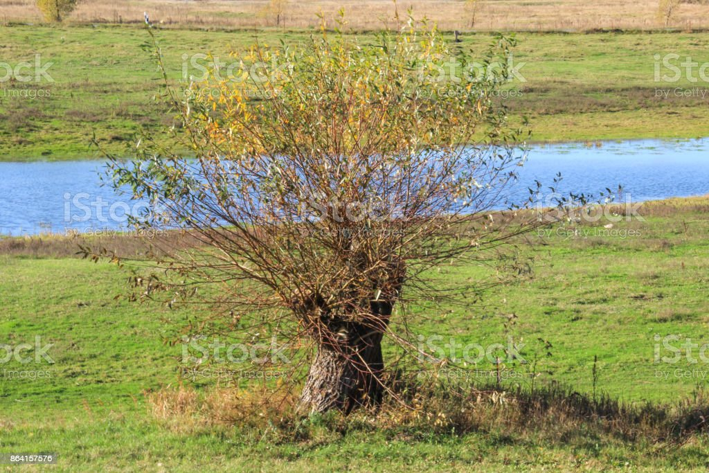 Willow on a meadow in autumn royalty-free stock photo