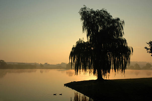 Willow on a misty morning stock photo