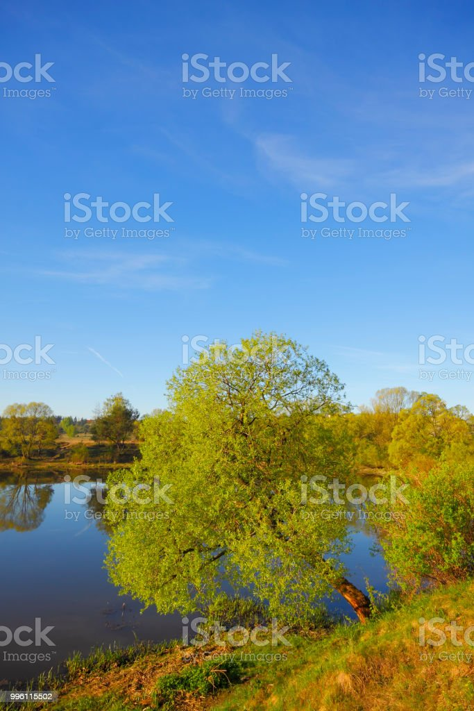 Willow on lakeshore stock photo
