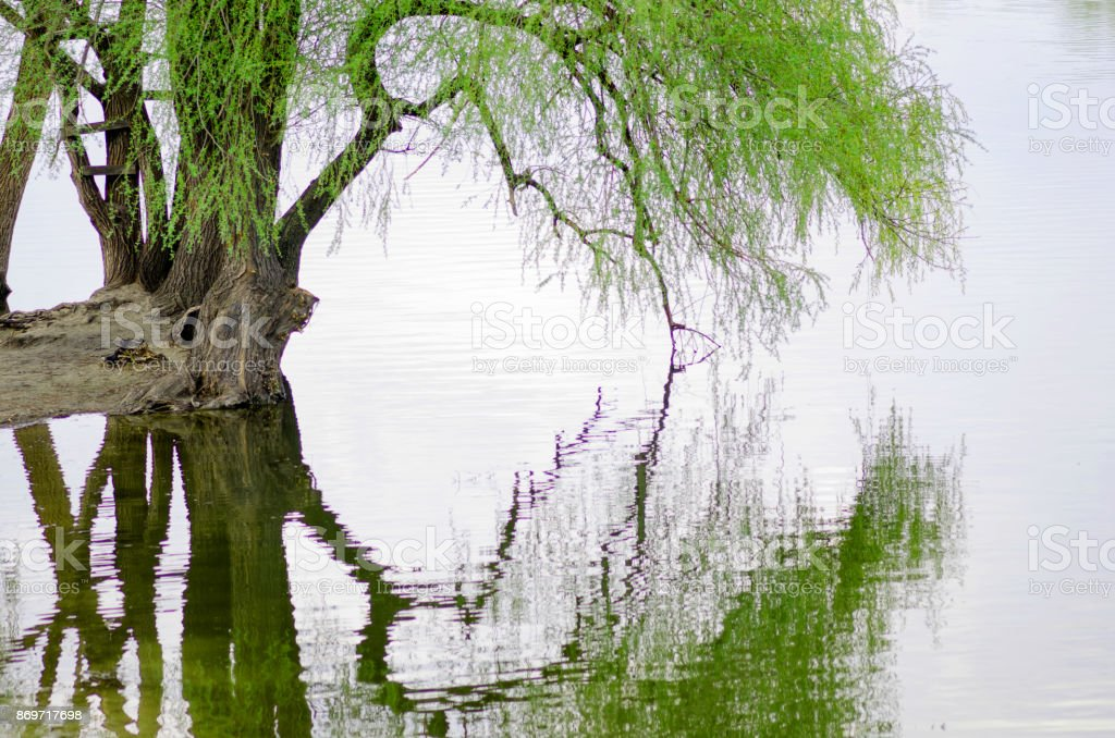 Willow over the water stock photo
