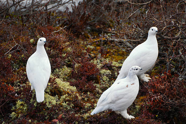 Willow Ptarmigan at Churchill, Manitoba stock photo