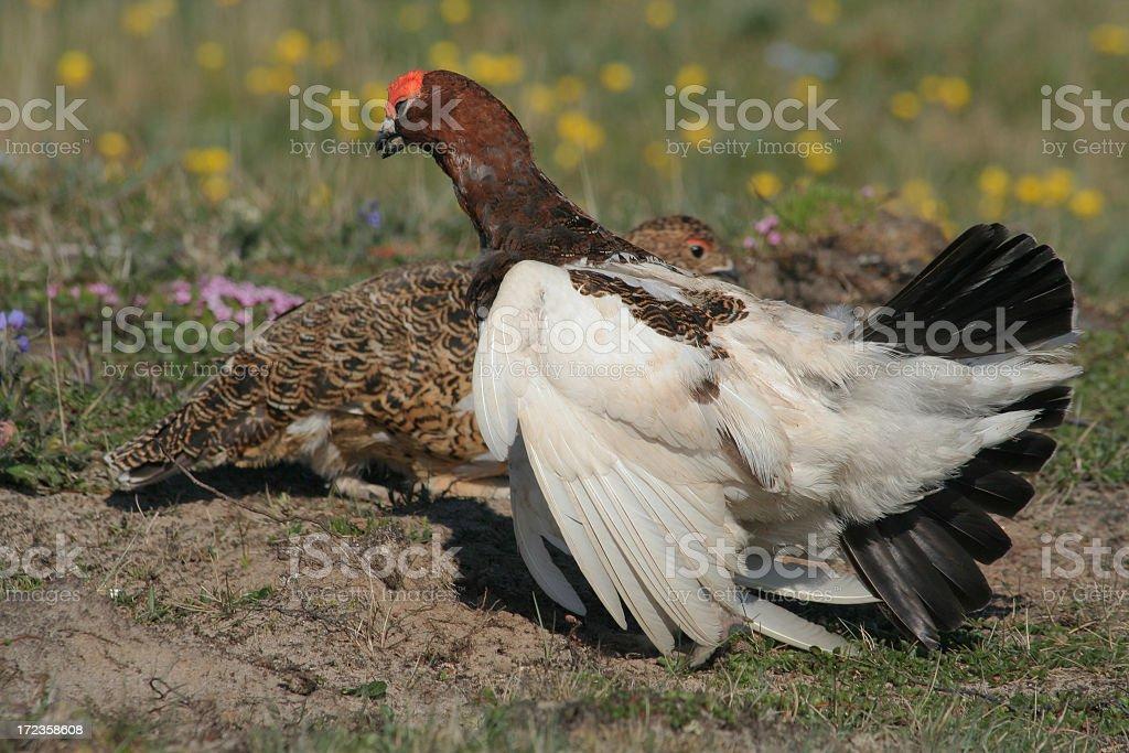 Willow ptarmigan.Courtship behavior. royalty-free stock photo