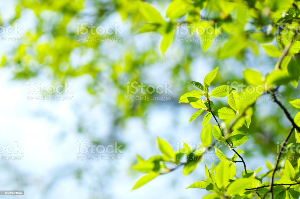 Willow spring leaves royalty-free stock photo