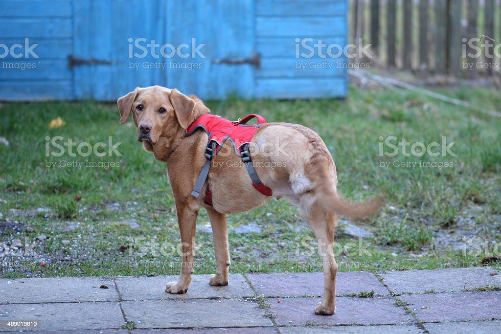Willow the Tripawd stock photo