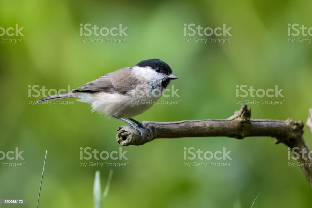 Willow tit sitting on a branch stock photo