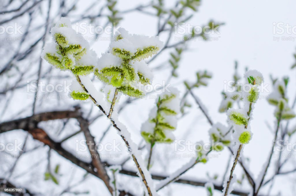 willow tree branch with blossoming flowers snow-covered. abnormal weather in the spring - Royalty-free Beauty Stock Photo