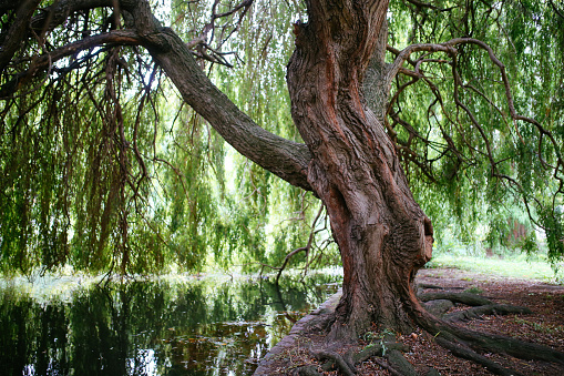 Willow tree at Alster lake