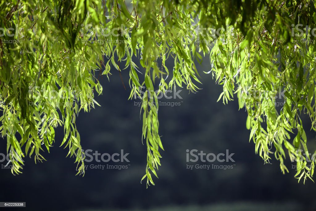 Willow Tree Leaves On Dark Background stock photo