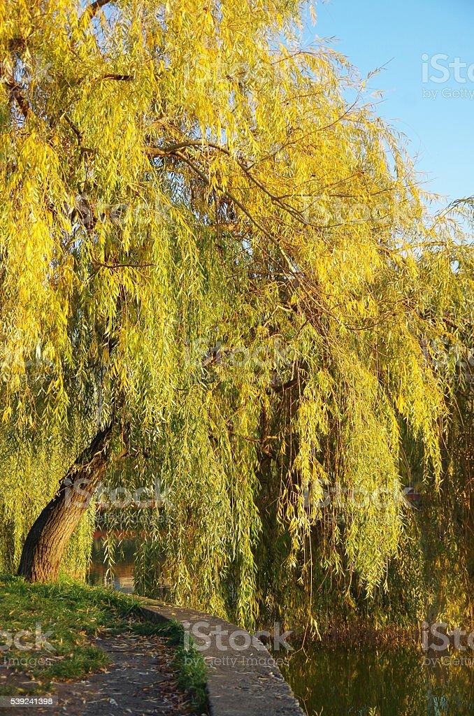 Willow Tree royalty-free stock photo