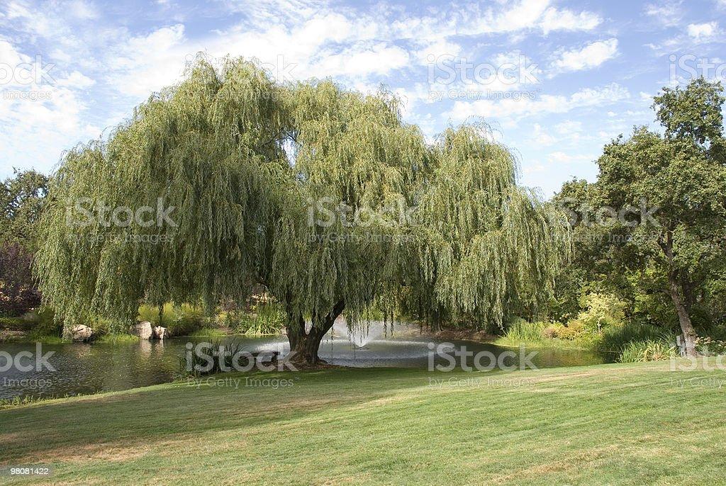 버드나무 royalty-free 스톡 사진