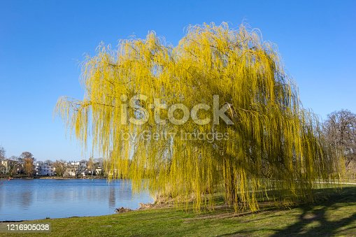A willow tree stands near the riverside of the river Havel in Potsdam, Brandenburg. It is springtime.