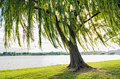 Willow tree swaying in wind by Potomac River and Arlington Memorial bridge in Washinton DC
