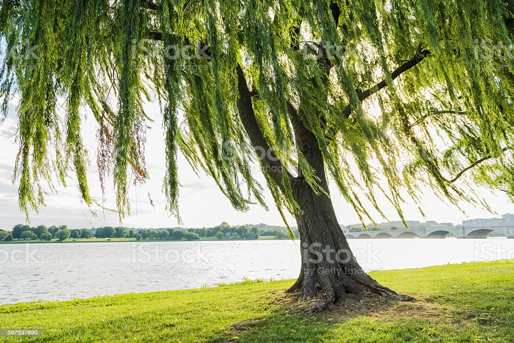 Willow tree swaying in wind by Potomac River stock photo