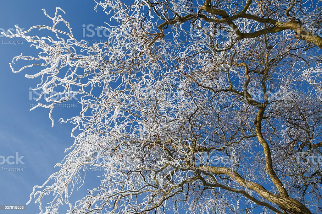 Willow tree with frost on background of blue sky. stock photo