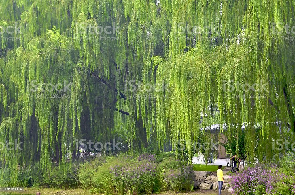 Willow Trees in a chinese park royalty-free stock photo