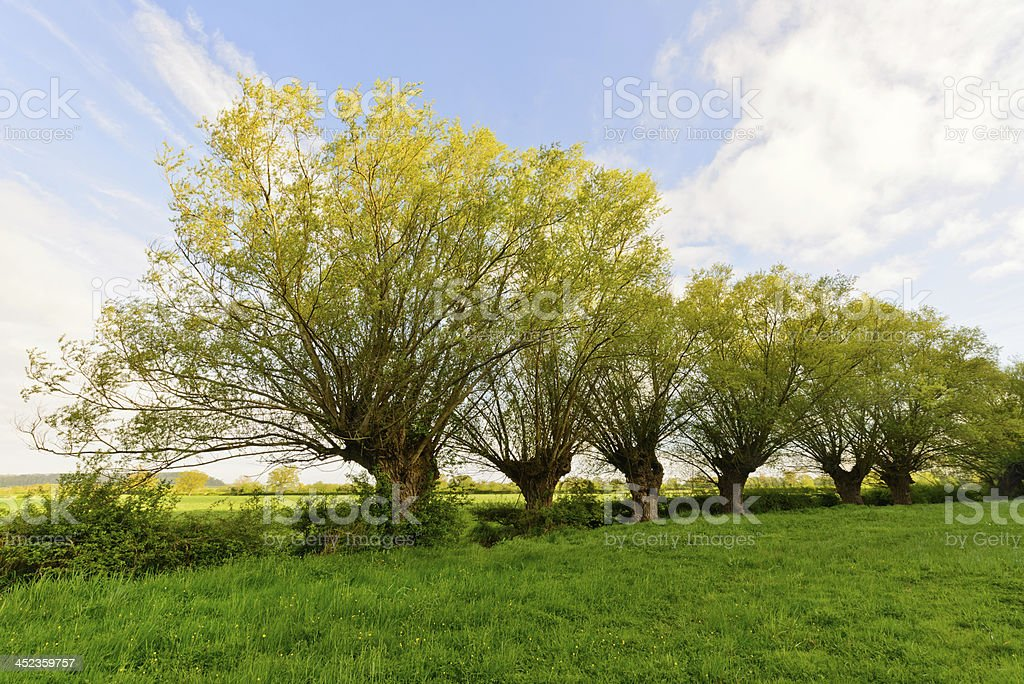 Willow Trees in the English Countryside stock photo