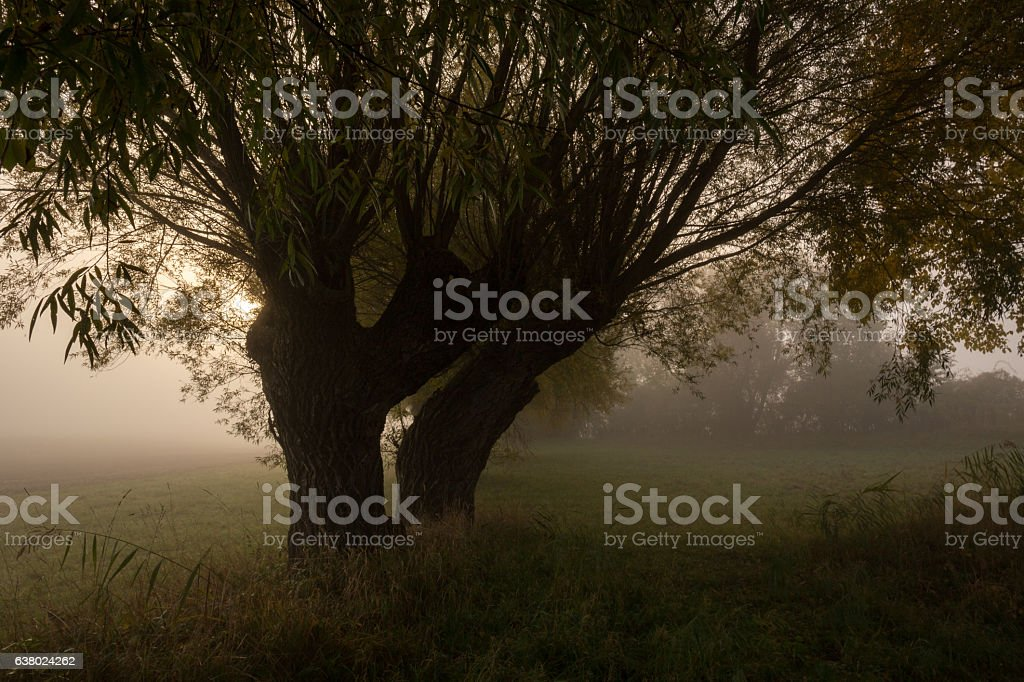 Willow trees in the fog. – Foto