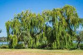 柳の木には、湿地