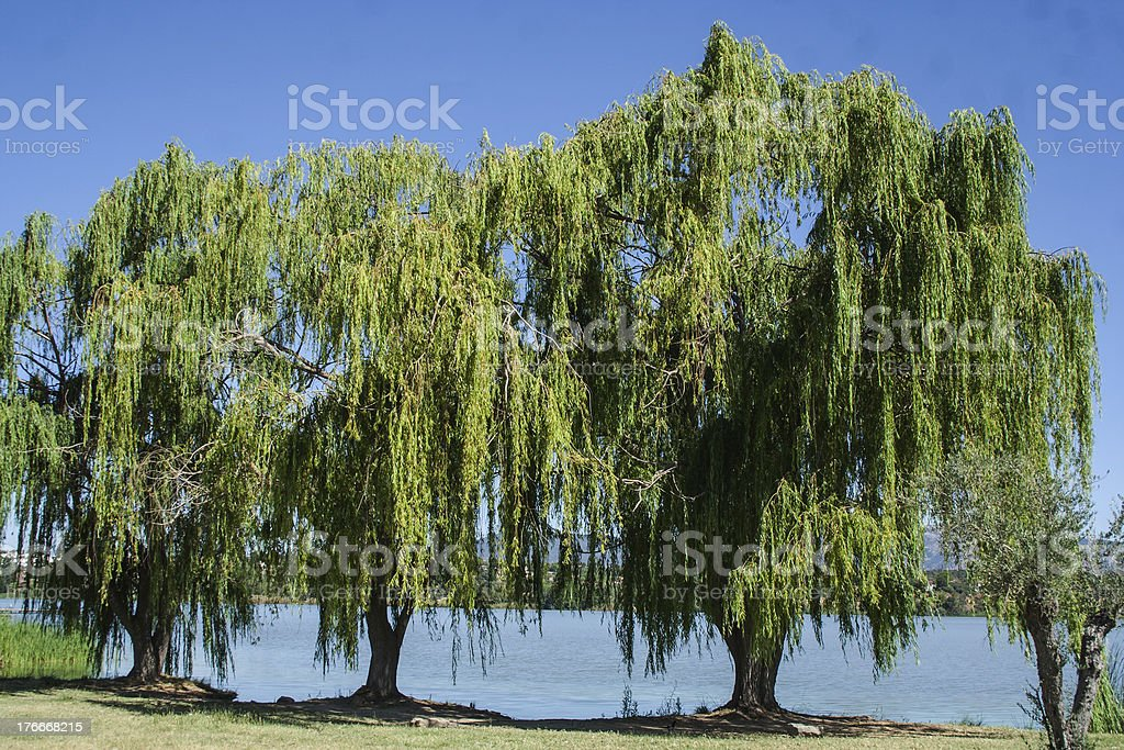 Willow trees, in the swamp royalty-free stock photo