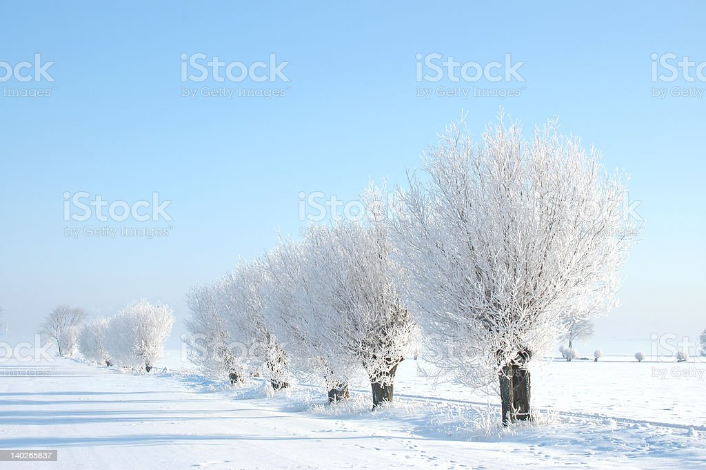 Willow trees in Winter stock photo