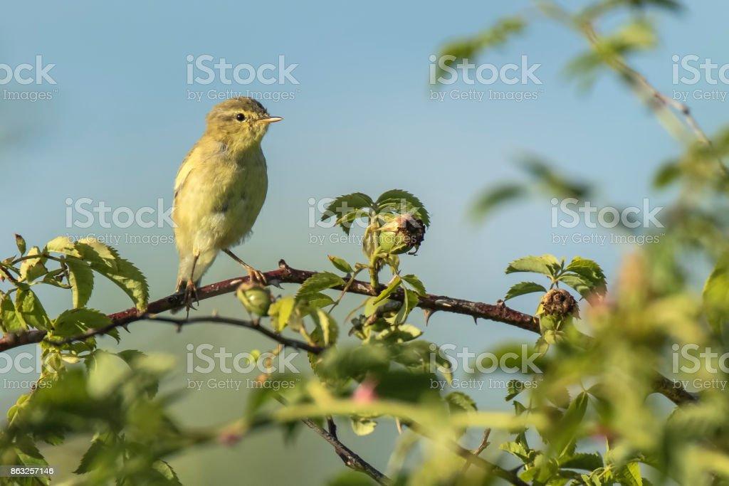 Willow warbler bird, Phylloscopus trochilus, singing stock photo