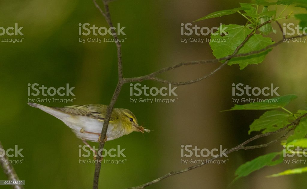 Willow warbler (Phylloscopus trochilus) holding prey stock photo