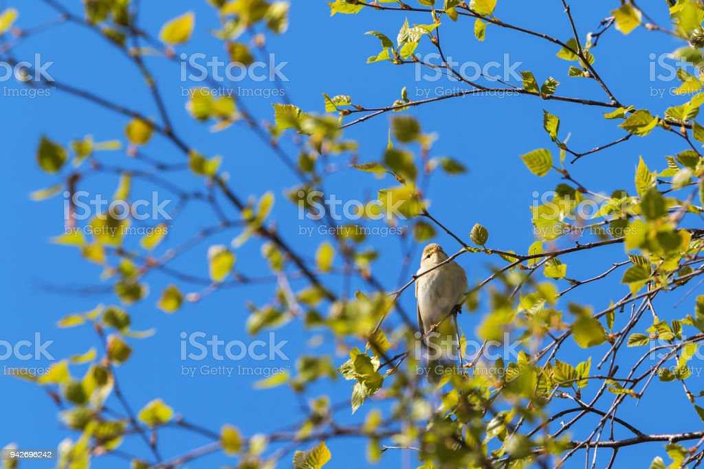 Willow Warbler on a branch in spring stock photo