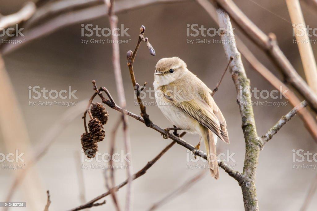 Willow warbler (Phylloscopus trochilus) on alder stock photo