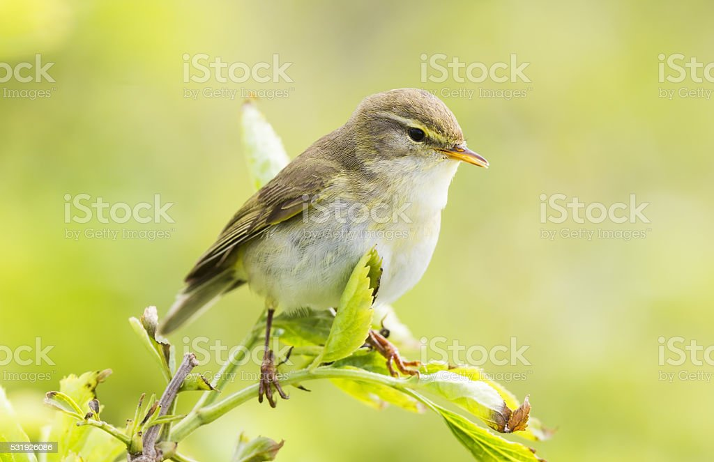 Willow warbler perched on a green plant in the sun stock photo