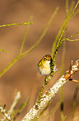 Willow warbler in a bush