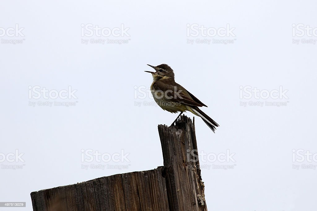 Willow warbler royalty-free stock photo