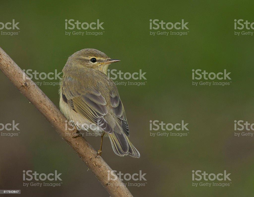 willow warbler (Phylloscopus trochilus) stock photo