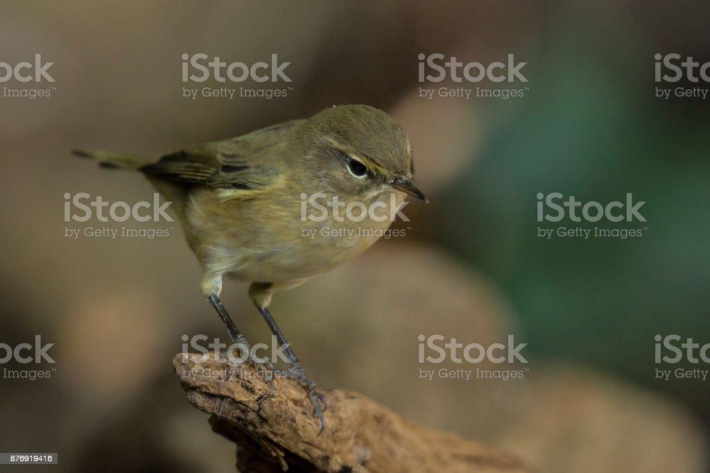 Willow warbler stock photo