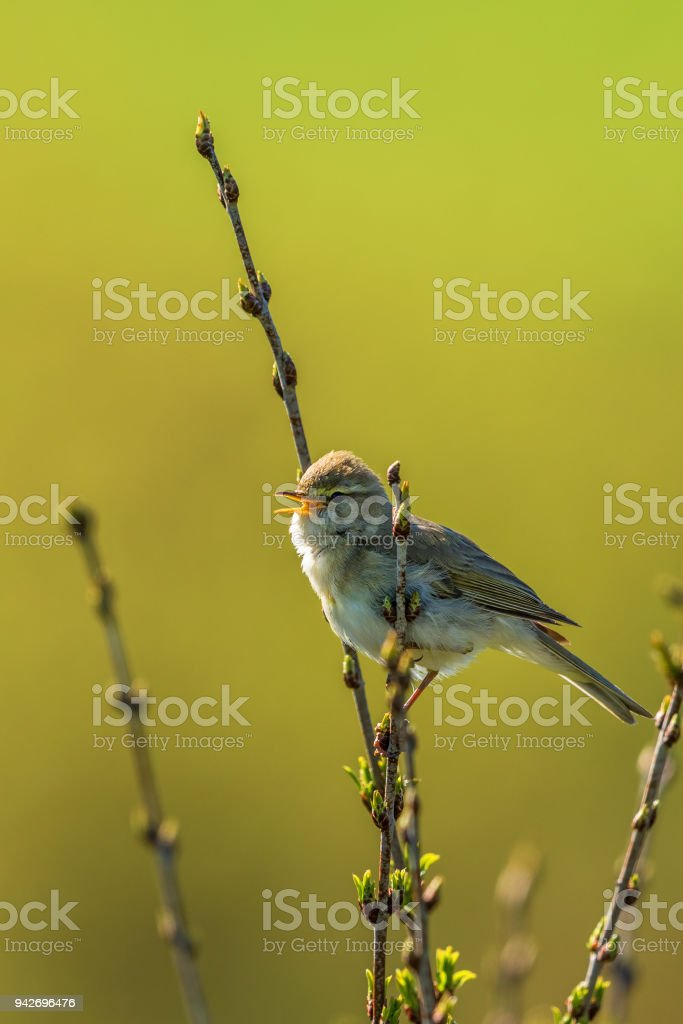 Willow warbler singing from a twig stock photo