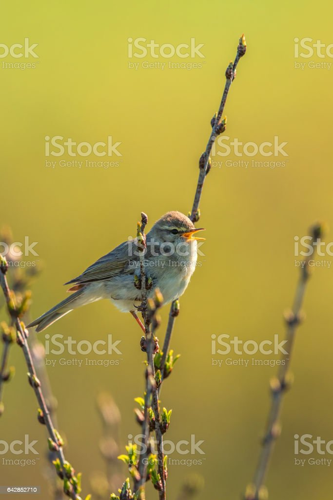 Willow warbler singing in the spring stock photo