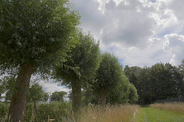 Willows in a Dutch landscape stock photo