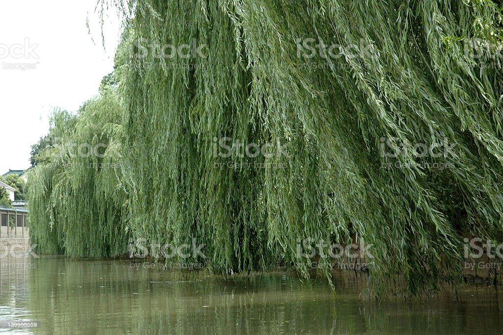 Willows stock photo
