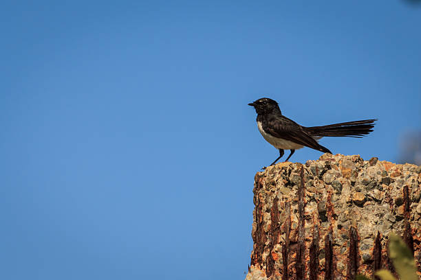 Willy Wagtail stock photo