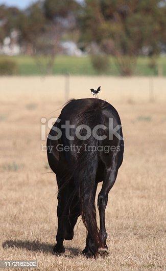 Pony and bird