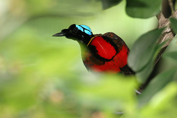 Wilson's Bird-of-paradise stock photo