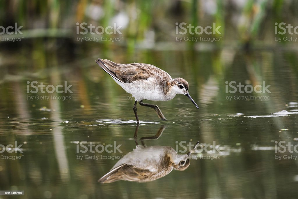 Wilson's Phalarope (Phalaropus tricolor) royalty-free stock photo