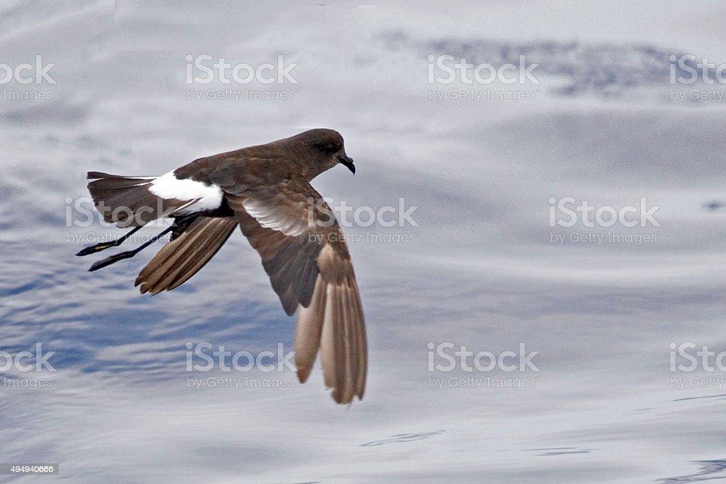 Wilson's Storm-Petrel, Oceanites oceanicus flying stock photo