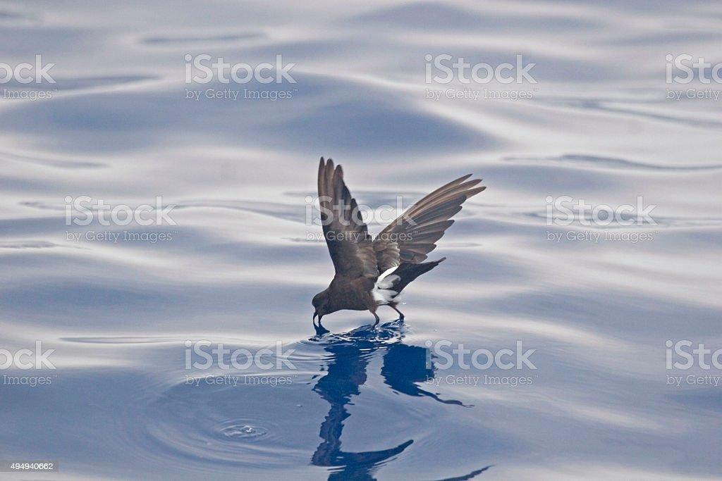 Wilson's Storm-Petrel, Oceanites oceanicus in flight stock photo