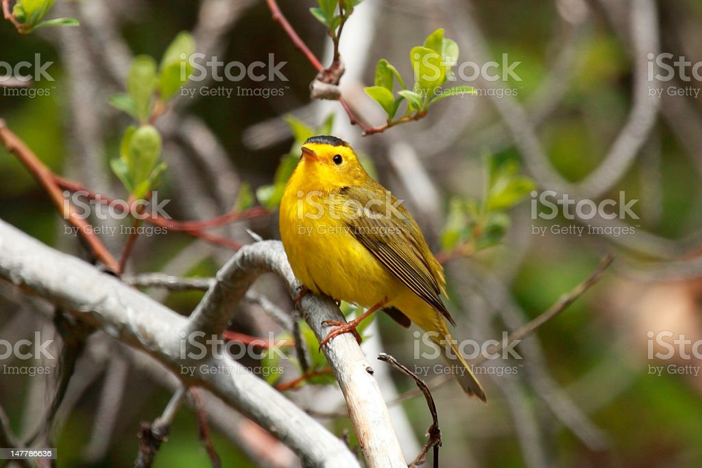 Wilson's Warbler (Cardellina pusilla) on a willow branch. stock photo