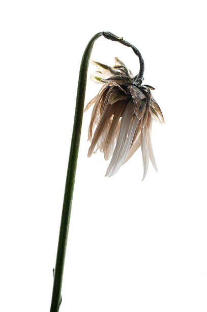 A wilted and dying daisy on a stem stock photo