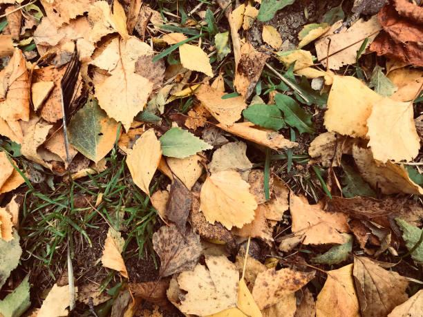 가 나뭇잎 wilted 스톡 사진