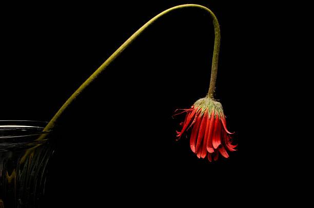 Gedämpfter Blume auf Schwarz – Foto