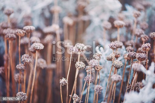 Wilted flowers in winter sunlight