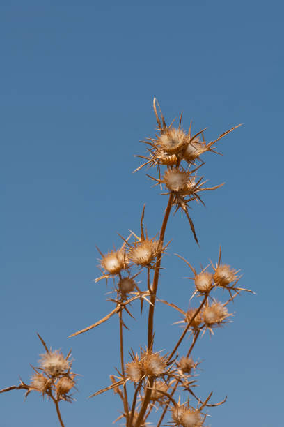 Wilted plant about to spread its seeds stock photo